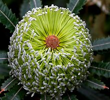Banksia aemula by andrachne