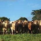 Cows Line up for a Closeup. by Maureen Dodd
