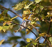 Blue Gray Gnatcatcher by Amy Godwin