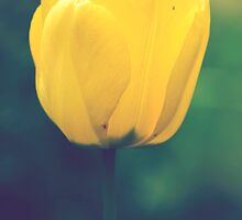 Yellow tulip by Dominika Aniola