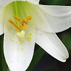 Lily White by lorilee