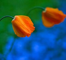 Two Orange Poppies by Wendy Kennedy