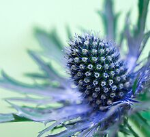 Sea Holly by Wendy Kennedy