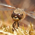Did I forget to shave again? (Four spotted chaser) by Jon Lees