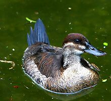 Mrs. Ruddy Duck by Lisa G. Putman
