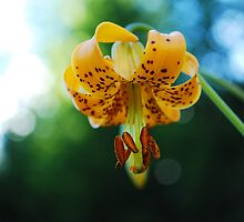Columbia Lily - Wildflowers of British Columbia by Roxanne Persson