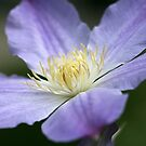 Ice Blue Clematis  by Kelly Cavanaugh