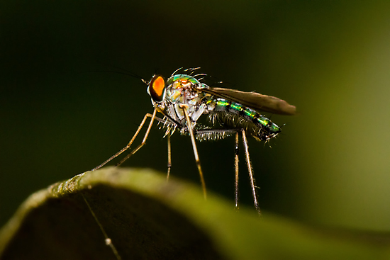 Dolichopodid Fly by Jason Asher