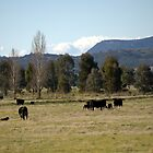 Cows Grazing   by julie anne  grattan