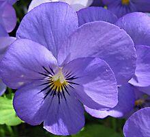 Purple Pansies by Monnie Ryan