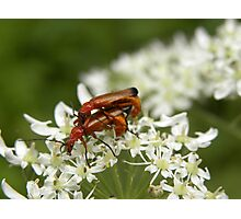 Mating Red Soldier Beetles Photographic Print