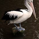 Balancing Act - pelican in Cairns by Jenny Dean