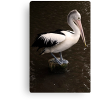 Balancing Act - pelican in Cairns Canvas Print