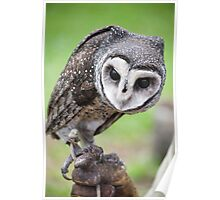 Sooty Owl Poster