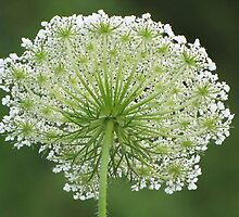 Queen Anne's Lace by lorilee