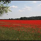 Poppy field, Berkshire by derekwallace