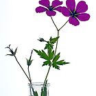 Two beautiful Geranium flowers by friendlydragon