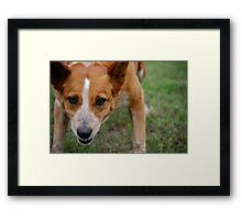 Focused Cattle Dog Mix Framed Print