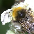 Busy bee by Photos - Pauline Wherrell