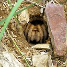 Arizona/Mexican Blonde Tarantula ~ Nesting by Kimberly P-Chadwick