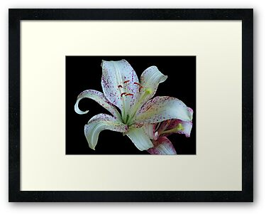 Pretty White Lily © by Dawn M. Becker