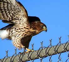 Hawk on a Fence... by RichImage