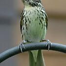 Juvenile Rose-Breasted Grosbeak by okcandids