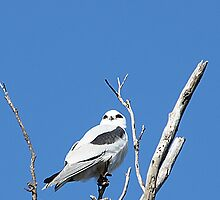 Black-shouldered Kite by EnviroKey