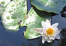 Waterlily delight. by Julie Sleeman