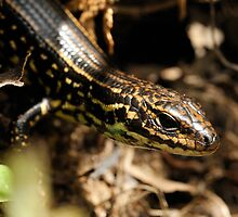 Leura Skink. Blue Mountains. #3 by Peter Chrismas