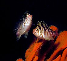 2 Blotched Hawkfish on Sponge by JimDodd