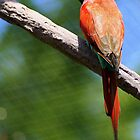 Carmine bee-eater by Laurel Talabere