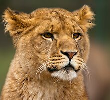 Musing lion cub by Shaun Whiteman