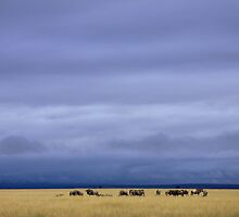 Wildebeest in savanna grassland by Graeme Shannon