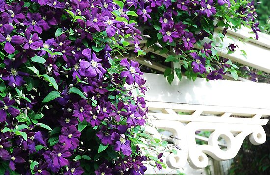 A thousand Clematis by Marjorie Wallace