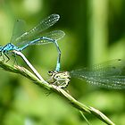 Damselfly by Tony4562