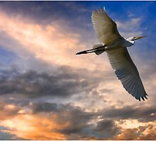 A White Egret Flies Off Under An Evening Sky  by Chris Lord