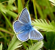 Silver Studded Blue Butterfly by rhian mountjoy