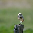 Burrowing Owl by Gary Lengyel