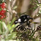 New Holland Honeyeater by EnviroKey