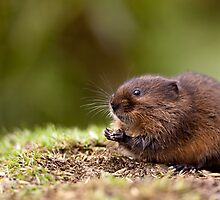 European Water Vole by Peter Denness