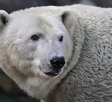 Polar Bear by Lorie Warren