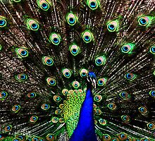 Peacock, USA by lu138