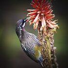 red wattlebird by col hellmuth