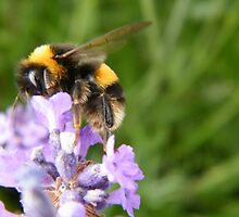 The Busy Bumble Bee by TREVOR34