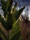 Backlit Milkweed by Aaron Campbell