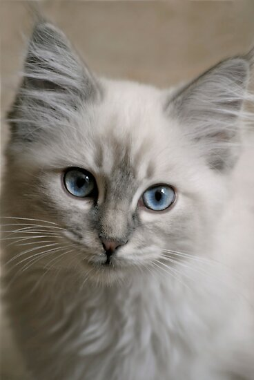 Old Blue Eyes... by Karen  Helgesen