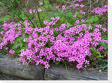 Pink Wood Sorrel - Oxalis by Carol  DiFiori