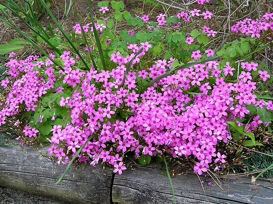 Pink Wood Sorrel - Oxalis by CarolD