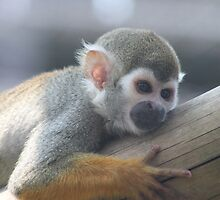 Sqirrel monkey  ~ Day dreaming by Elcee